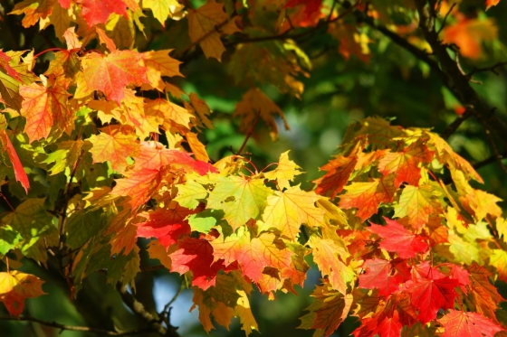 Chlorofyl se vstřebává a listy zaplaví žluté a červené barvivo