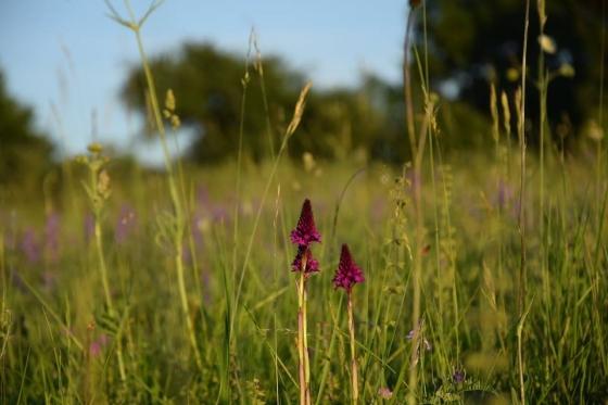 Rudohlávek jehlancovitý nacházející se na jedné z nejcennějších orchidejových luk ve střední Evropě – Čertoryje, Bílé Karpaty.