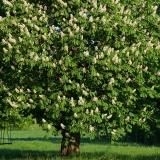 Průvodce po krásách dřeva: listnaté stromy IV.