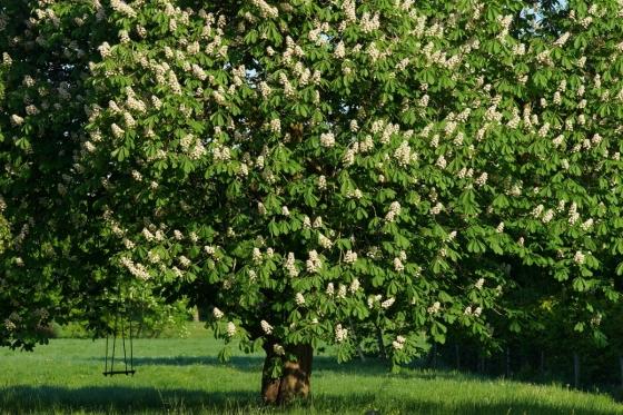 Dřevo jírovce je velmi oblíbené, v současné době však strom velmi trpí vleklými suchy