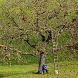Jak připravit ovocné stromky na zimu